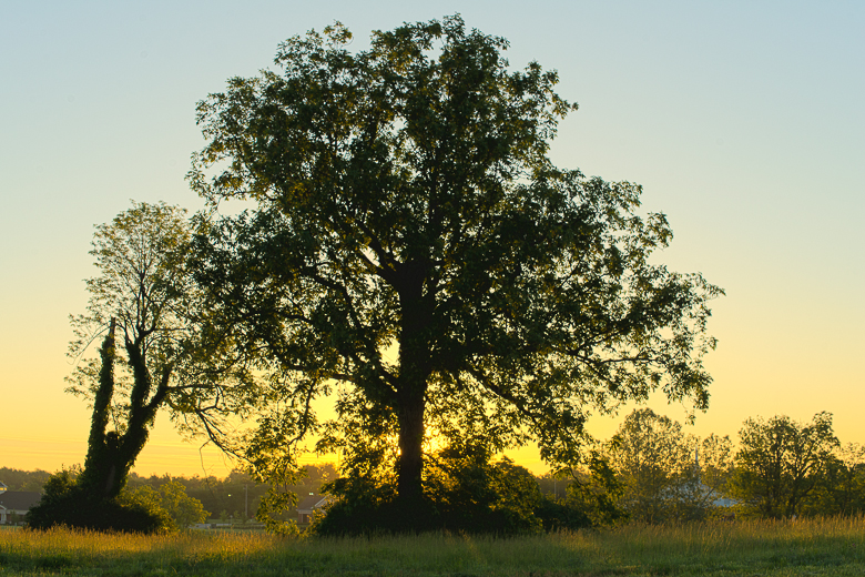 Picture of a kingnut tree in a woodland pasture