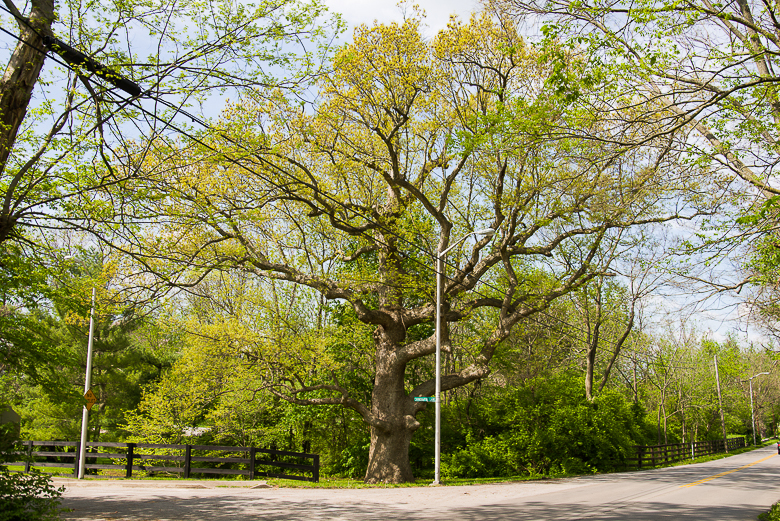 Picture of chinkapin oak.