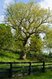 Picture of chinkapin oak