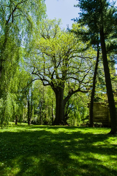 Picture of American basswood, Tilia americana