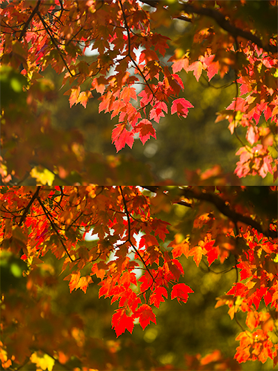 Picture of red maple in fall colors