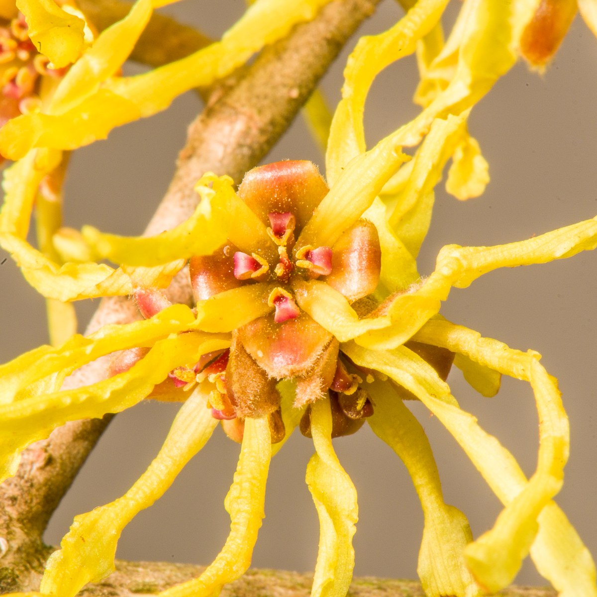 Flower of witchhazel