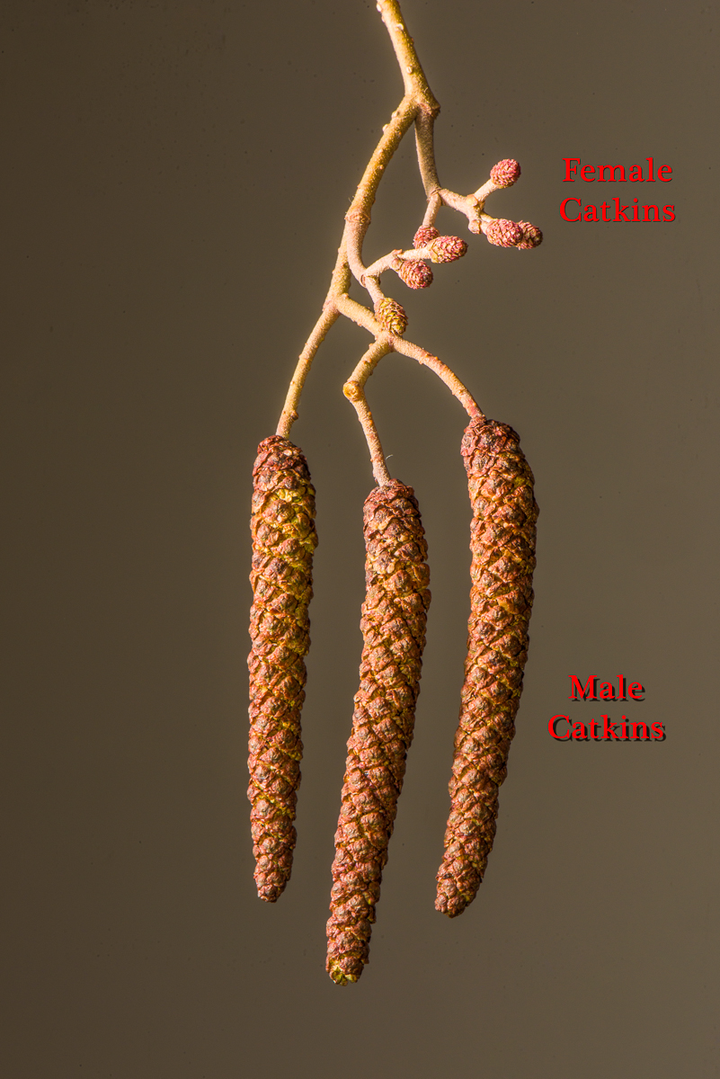 Male and female catkins of black alder