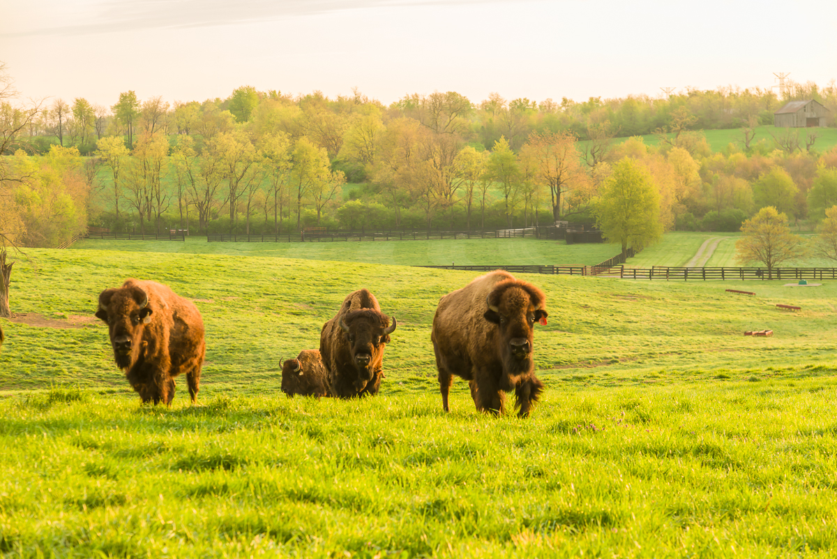 American bison on Bluegrass pasture