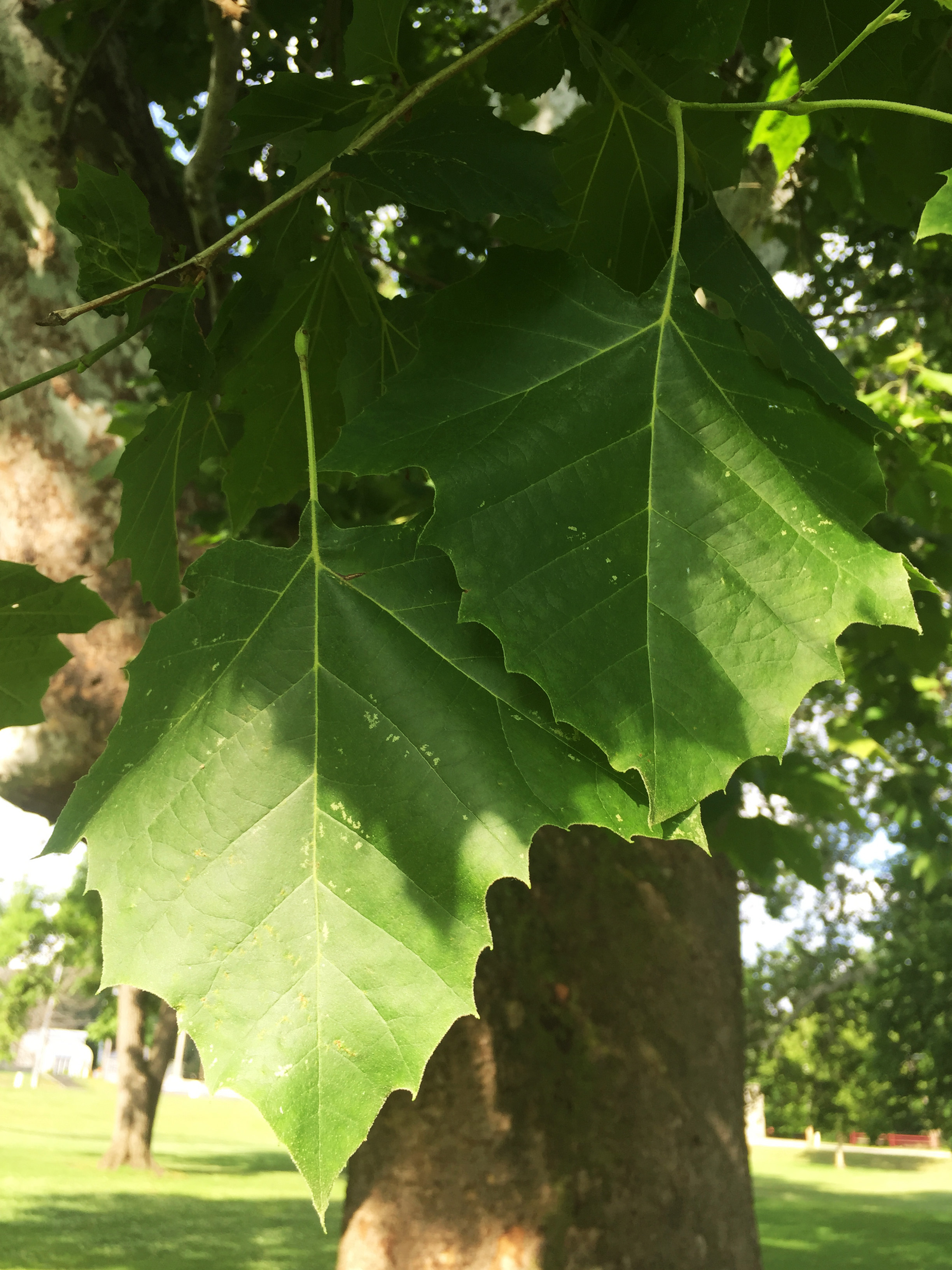 American sycamore leaves