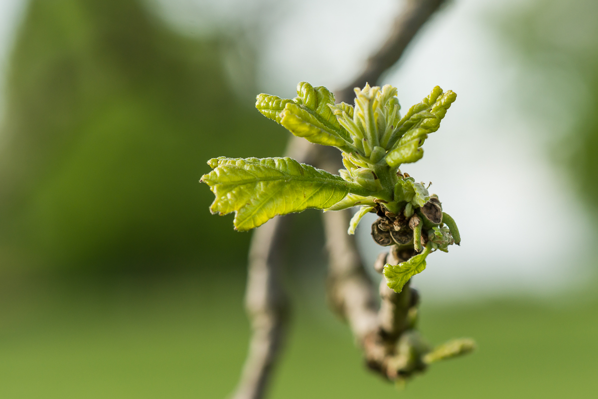 New leaves on an old bur oak