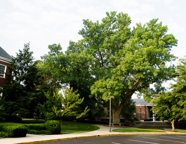 The Kissing Tree at Transylvania University