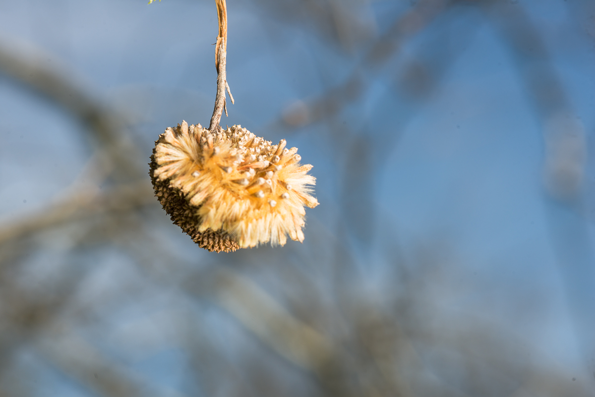Sycamore fruit in spring