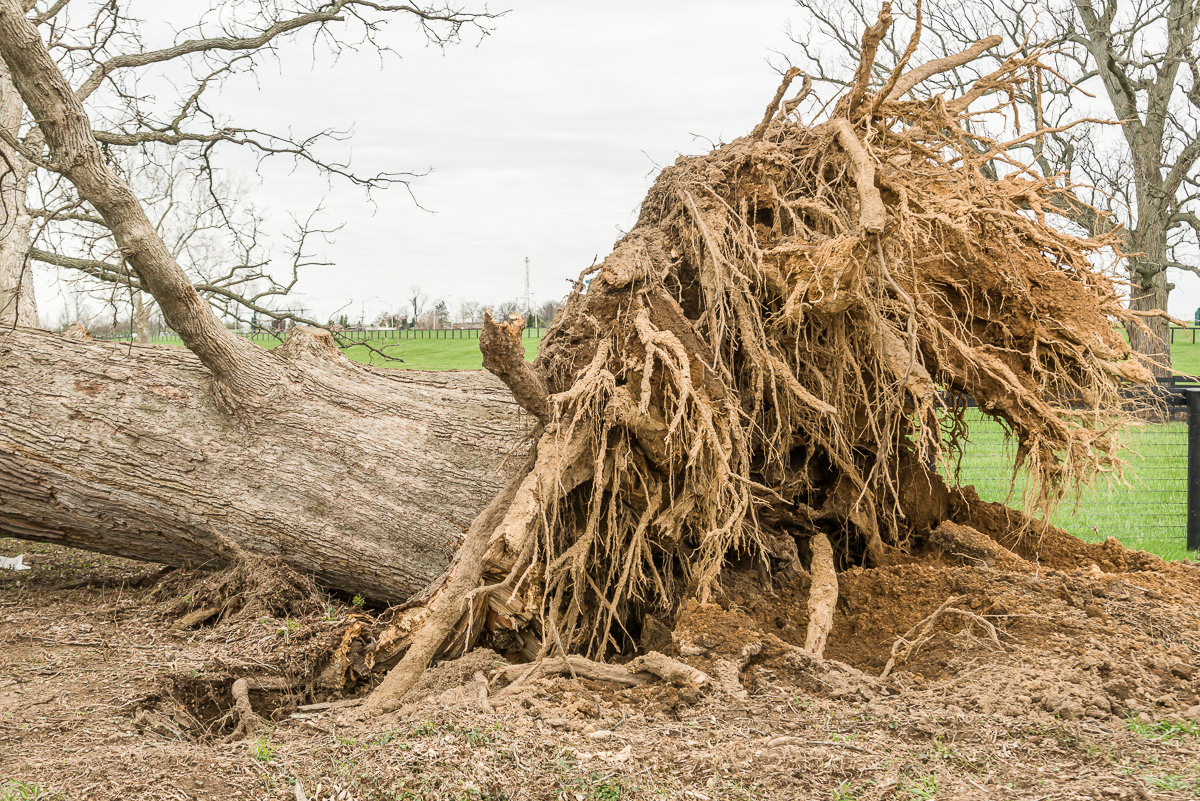Uplifted root system