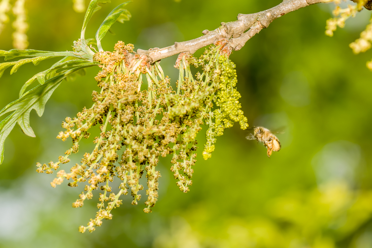 Bees on male bur oak flowers