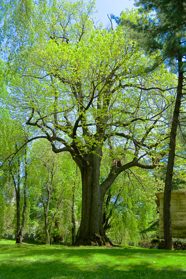 American basswood (National Champion), Lexington Cemetery