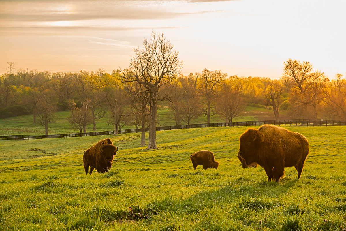 Picture of bison in woodland pasture