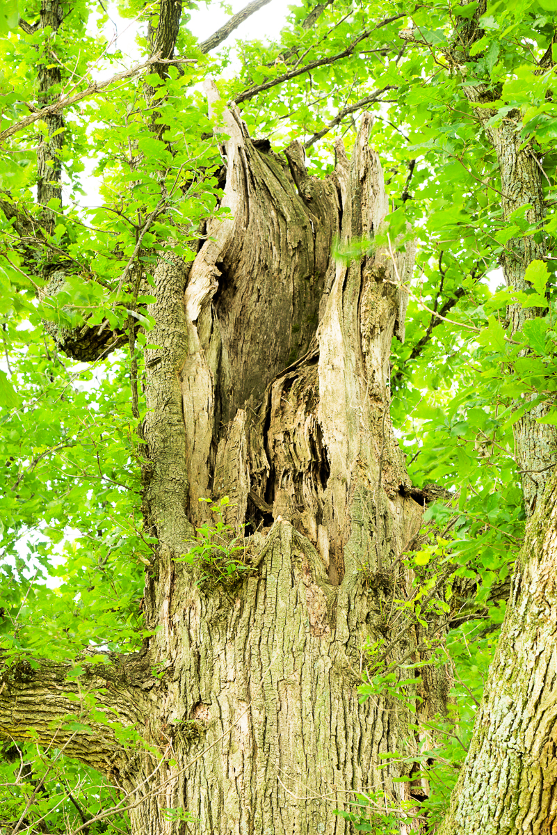 Broken top of an old bur oak