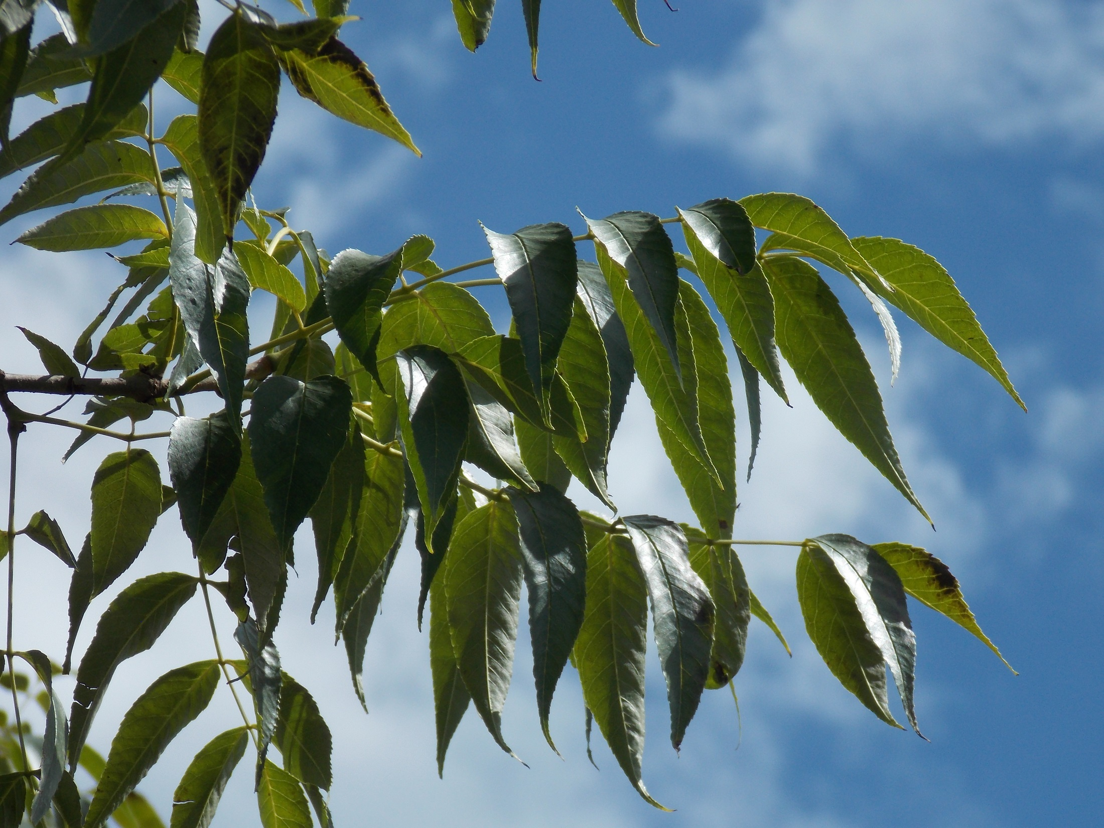 Leaves of blue ash