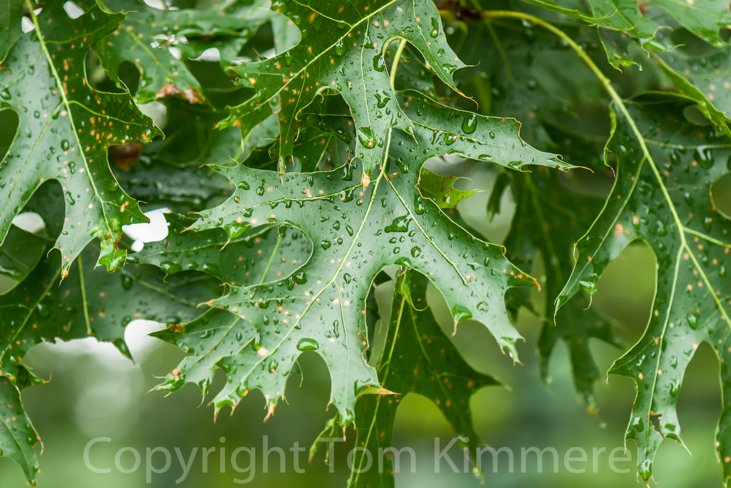 Shumard oak leaves in rain