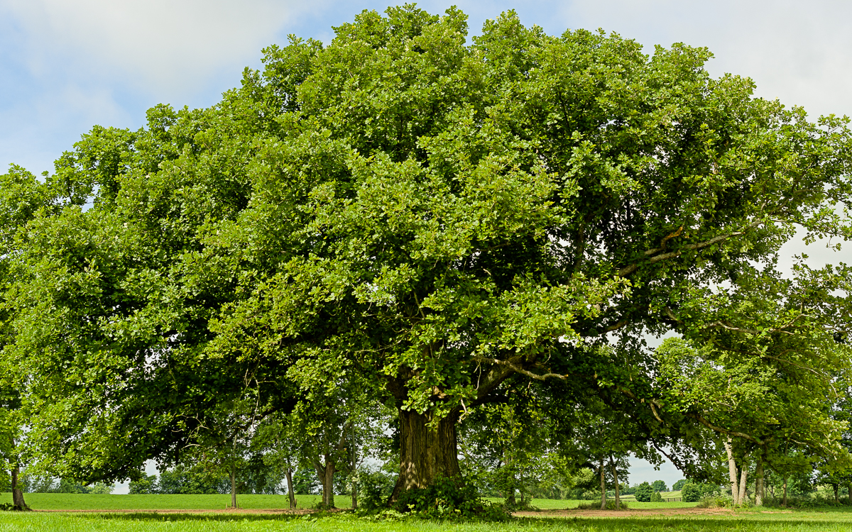 An oak tree in a pasture