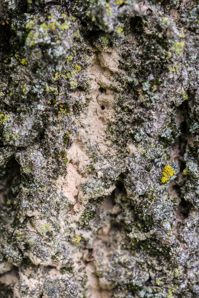In spring, the adult beetles emerge by tunneling through the bark, leaving little piles of sawdust.