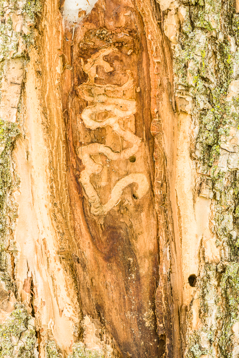 The borer larvae make wandering galleries in the cambium, xylem and phloem. This is what kills the tree.