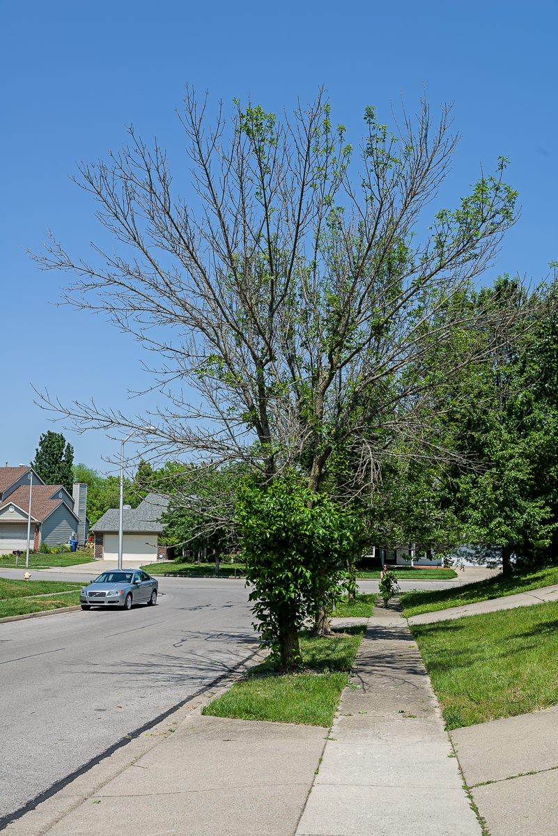 The borer begins at the top of the tree and works its way down, sometimes taking several years to kill the tree.
