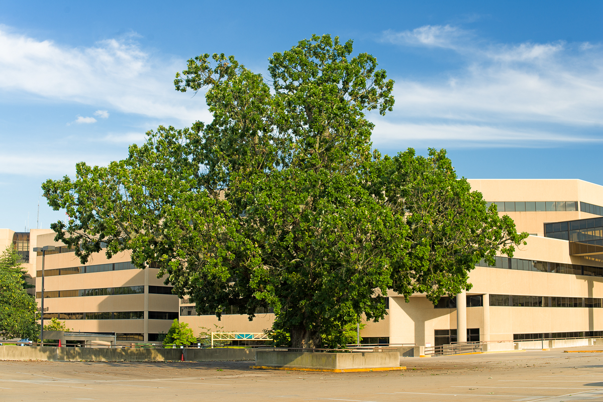 Bur oak, Quercus macrocarpa, at St. Joseph Medical Center parking garage.