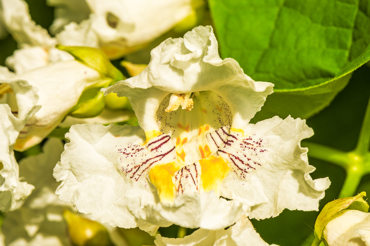 Flowers of Catalpa speciosa
