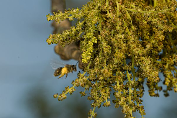 Bees on oak flowers