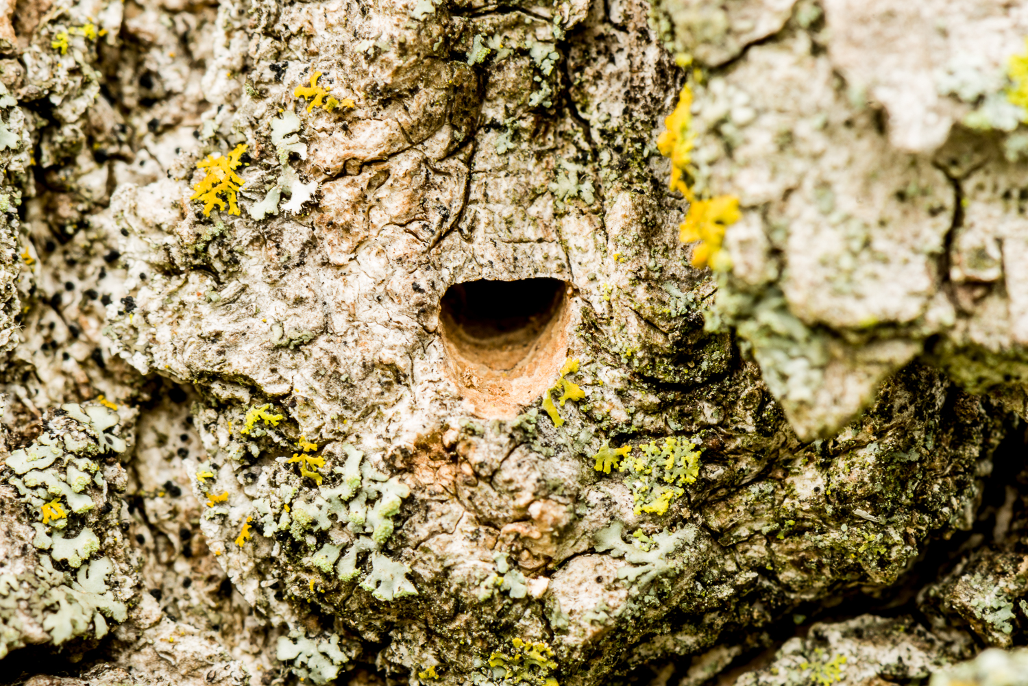 Emergence hole of emerald ash borer in a white ash tree